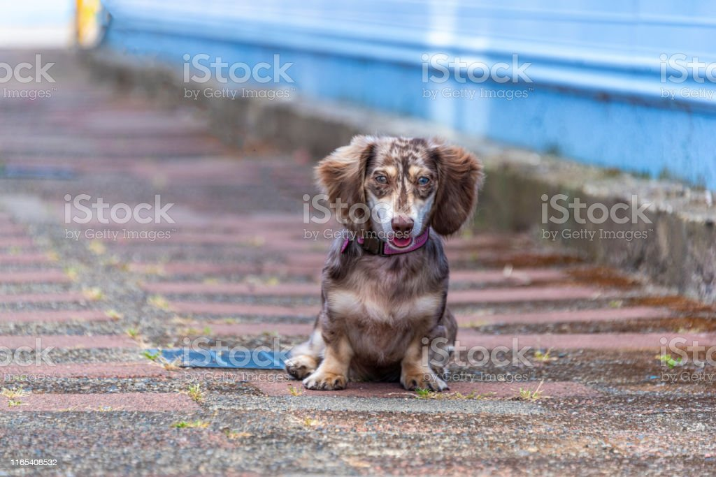 Long Haired Dapple Miniature Dachshund Doxie Puppy Dog Weeniedog Stock Photo Download Image Now Istock