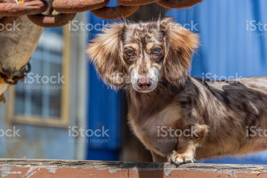 Long Haired Dapple Miniature Dachshund Doxie Puppy Nautical 1 Stock Photo Download Image Now Istock
