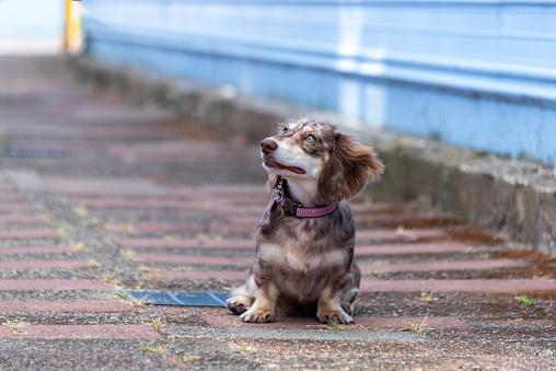 Long Haired Dapple Miniature Dachshund Doxie Puppy Weiner Dog