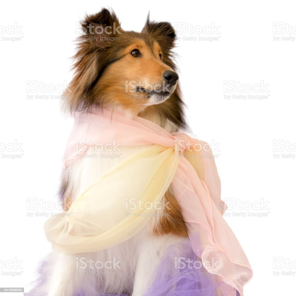 Simple Icelandic Sheepdog Canine Adorable Dog - long-haired-dog-shetland-sheepdog-lassie-chiffon-scarf-sheltie-picture-id941939550  Graphic_216745  .com/photos/long-haired-dog-shetland-sheepdog-lassie-chiffon-scarf-sheltie-picture-id941939550