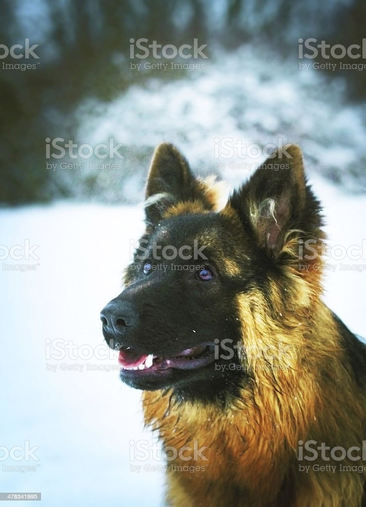 Long Haired German Shepherd Puppy Stock Photo Download Image Now Istock