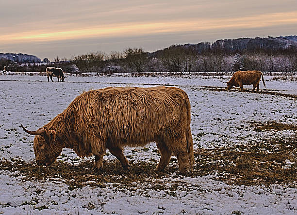 Long haired highland cows grazing in a snowy field. stock photo