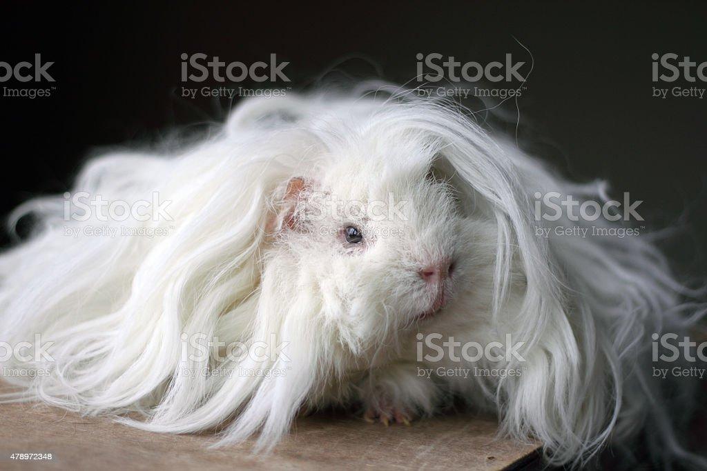 long haired lunkarya guinea pig royalty-free stock photo