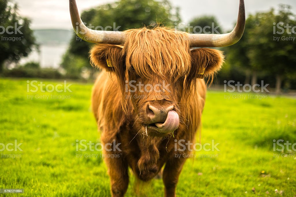 Long Haired Scottish Cow in a field stock photo