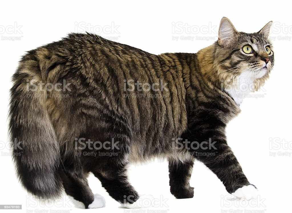Long Haired Tabby Cat stock photo