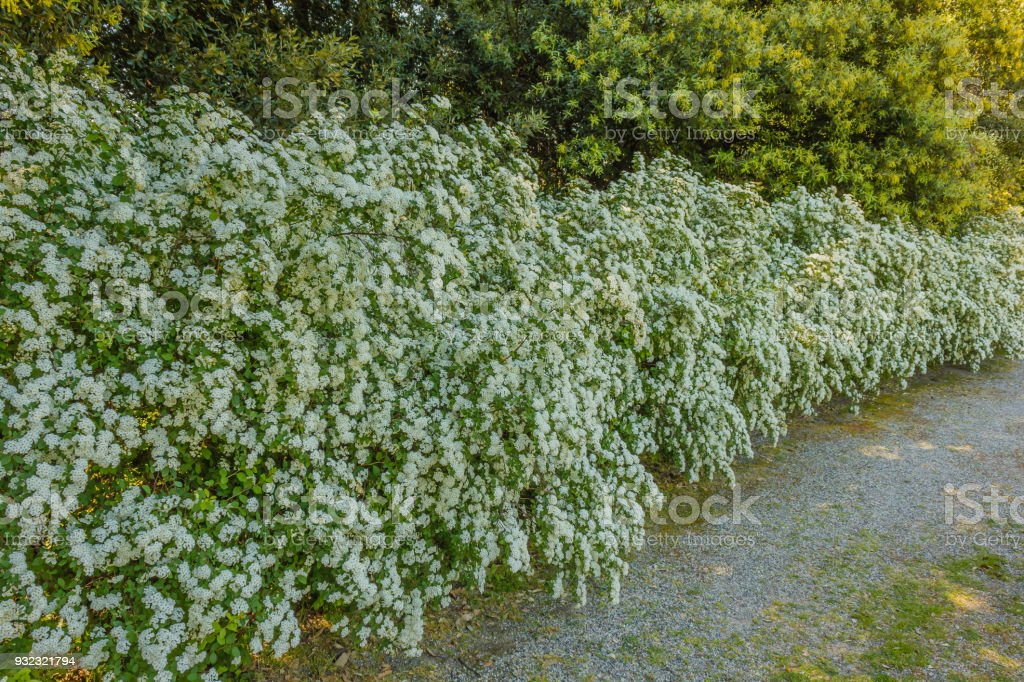 A long hedge of white spirea stock photo