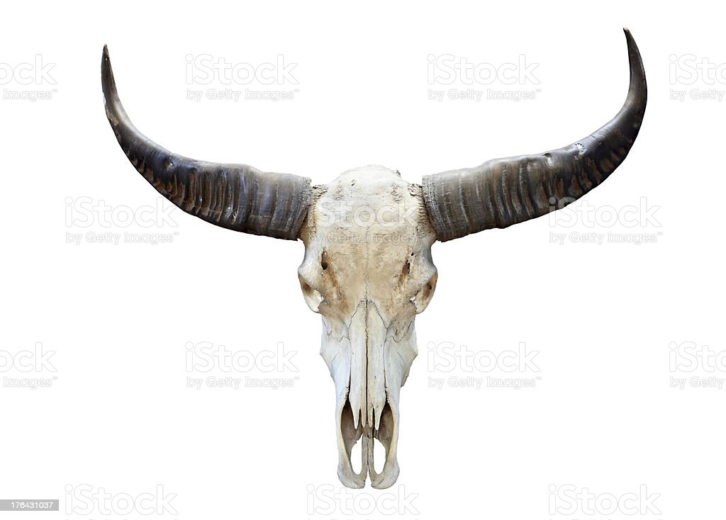 long horn buffalo skull stock photo