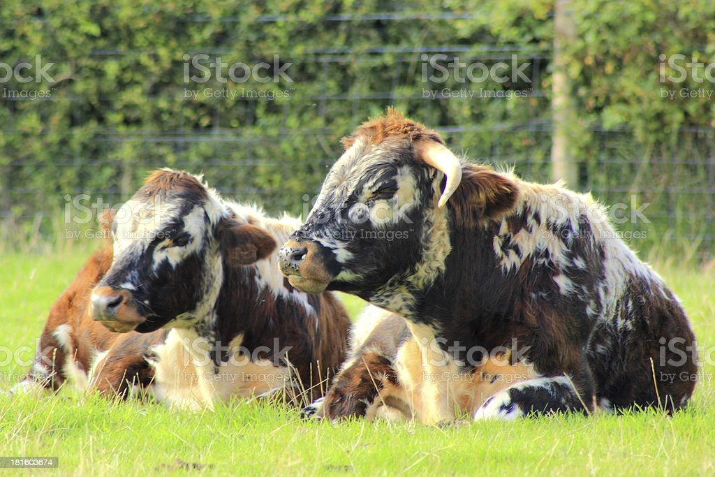 long horn bullock and cow stock photo