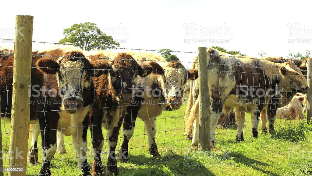 long horn herd by the fence stock photo