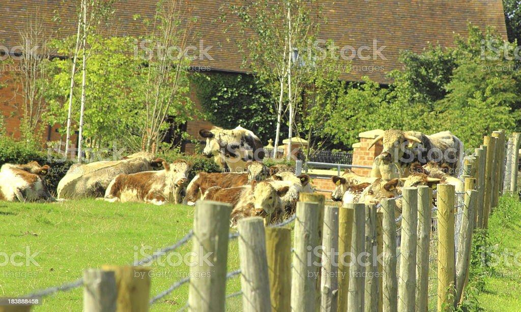 long horn herd stock photo