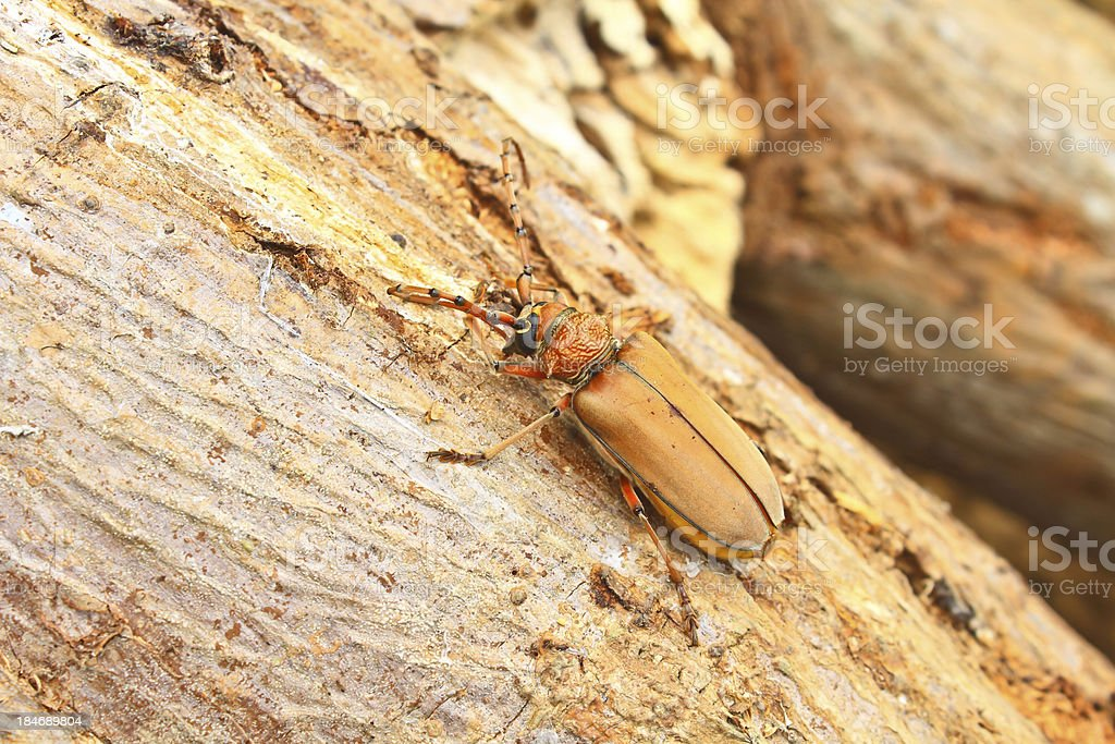 Long Horned Beetle on tree stock photo