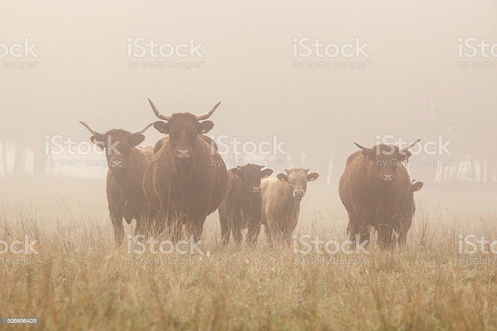 long horned cattle in the morning mist stock photo