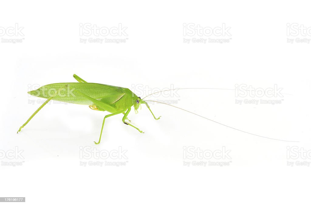 long horned grasshopper royalty-free stock photo