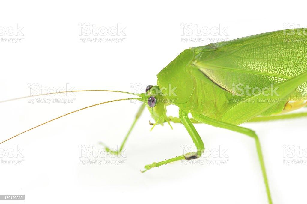 long horned grasshopper royalty-free stock photo