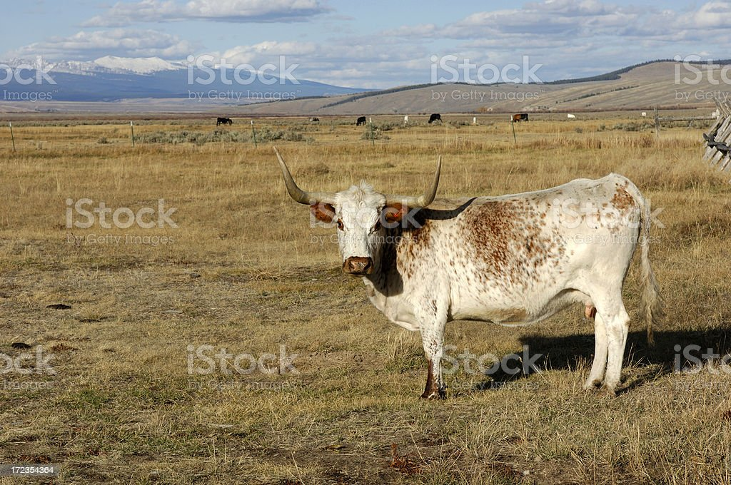 Long Horned Mama royalty-free stock photo