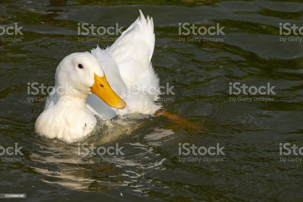 Long Island American Pekin Duck, also known as Aylesbury Ducks and grouped as a heavy duck stock photo