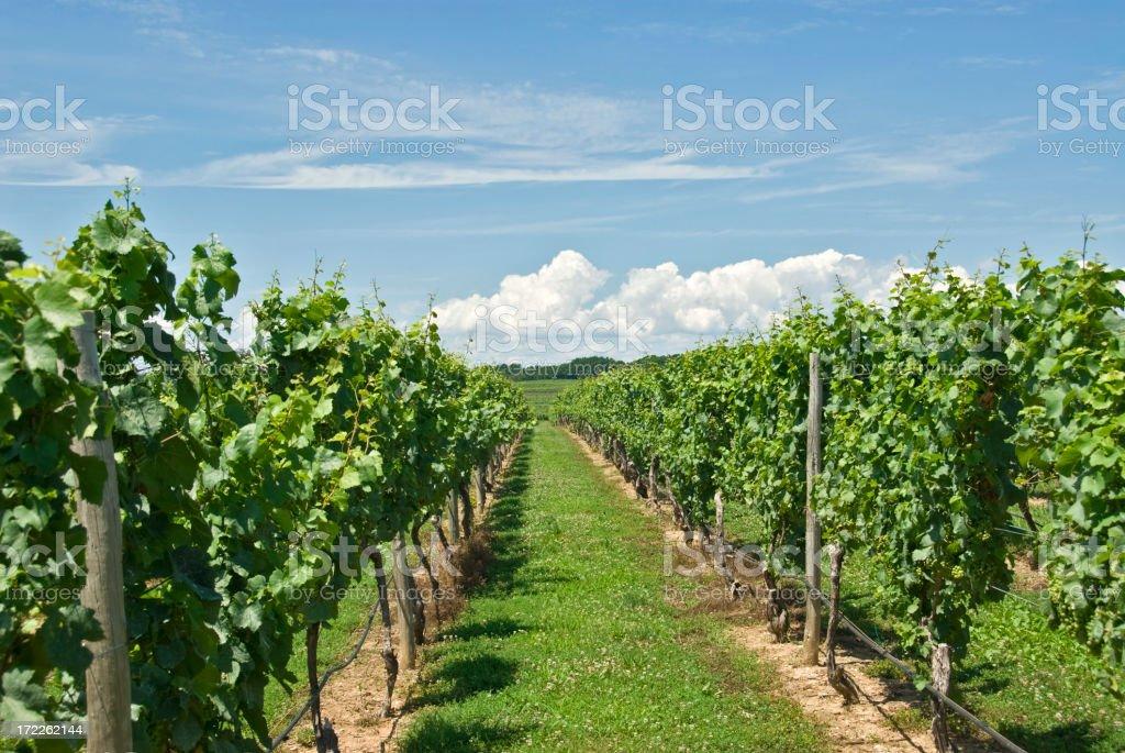 Long Island Wine Vineyards stock photo