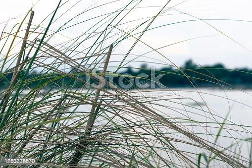 Long leaf green grasses beside the river
