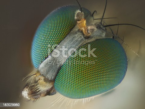 Long legged fly (Dolichopodidae)