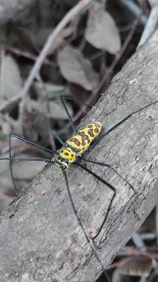 Long legged polka dots on branches,rainforest