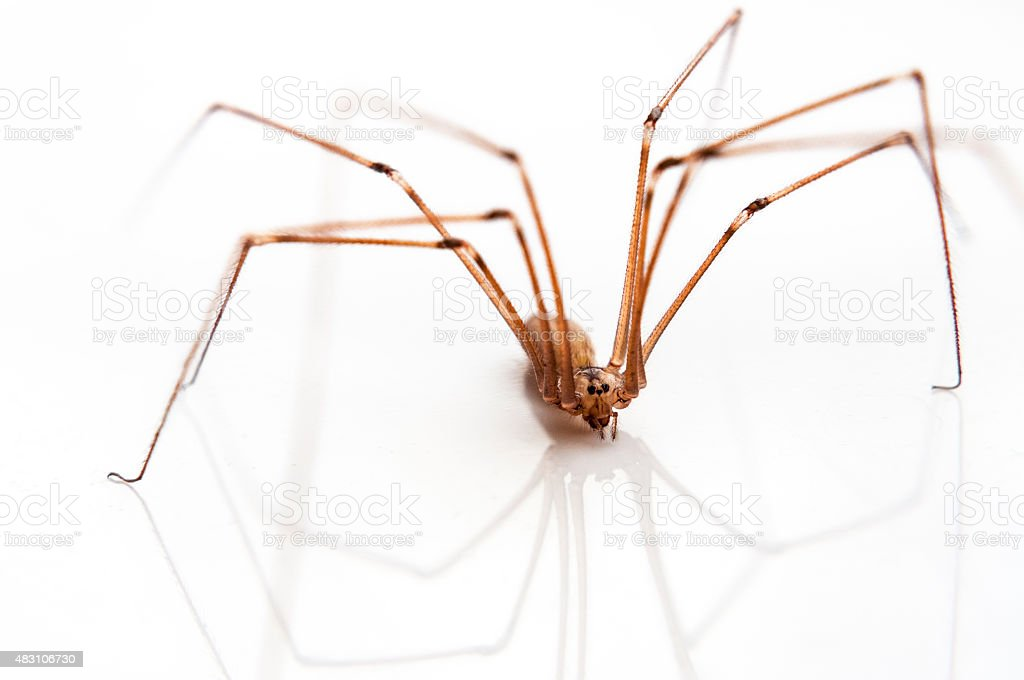 Long Legged Spider stock photo