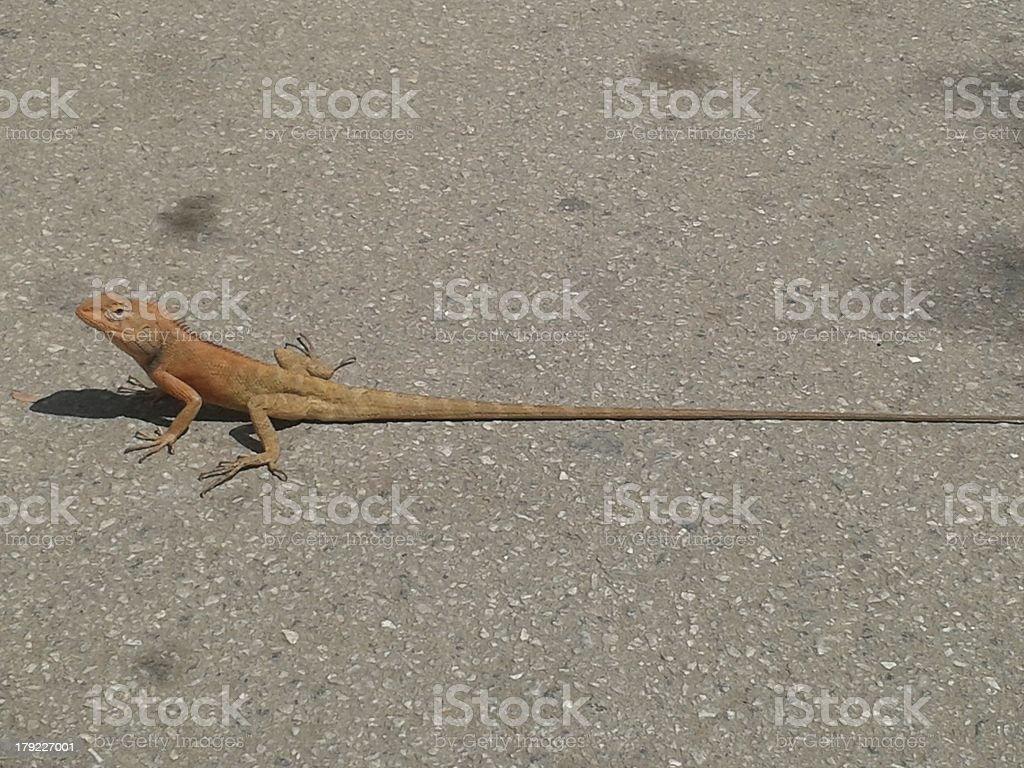 Long Lizard stock photo