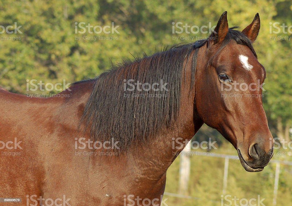 Long Mane and Shiny Coat stock photo