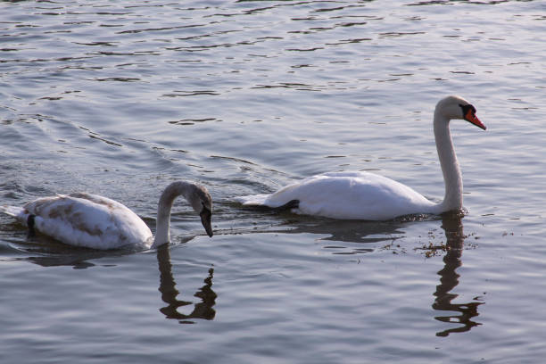 Long necked white swans floating on river surface stock photo