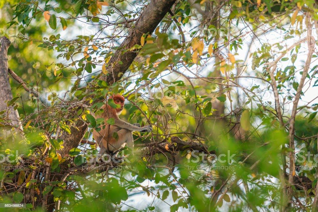 Long nose monkey near river in kinabalu city stock photo