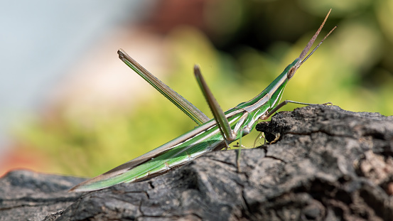 Close up of a long nosed grasshopper