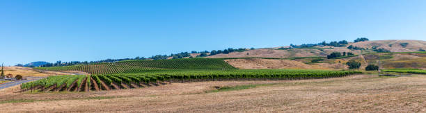 Long pano of Sonoma County Vineyard stock photo