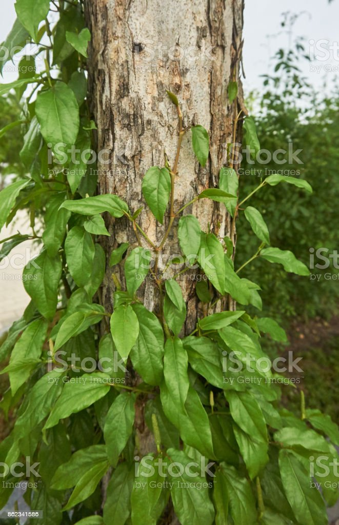 Long Pepper, Indian long pepper, Javanese long pepper stock photo