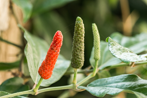 Long Pepper Stock Photo - Download Image Now