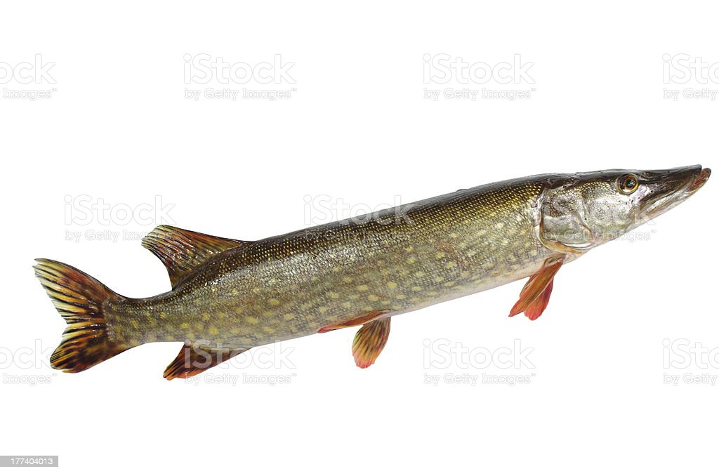 long pike stock photo