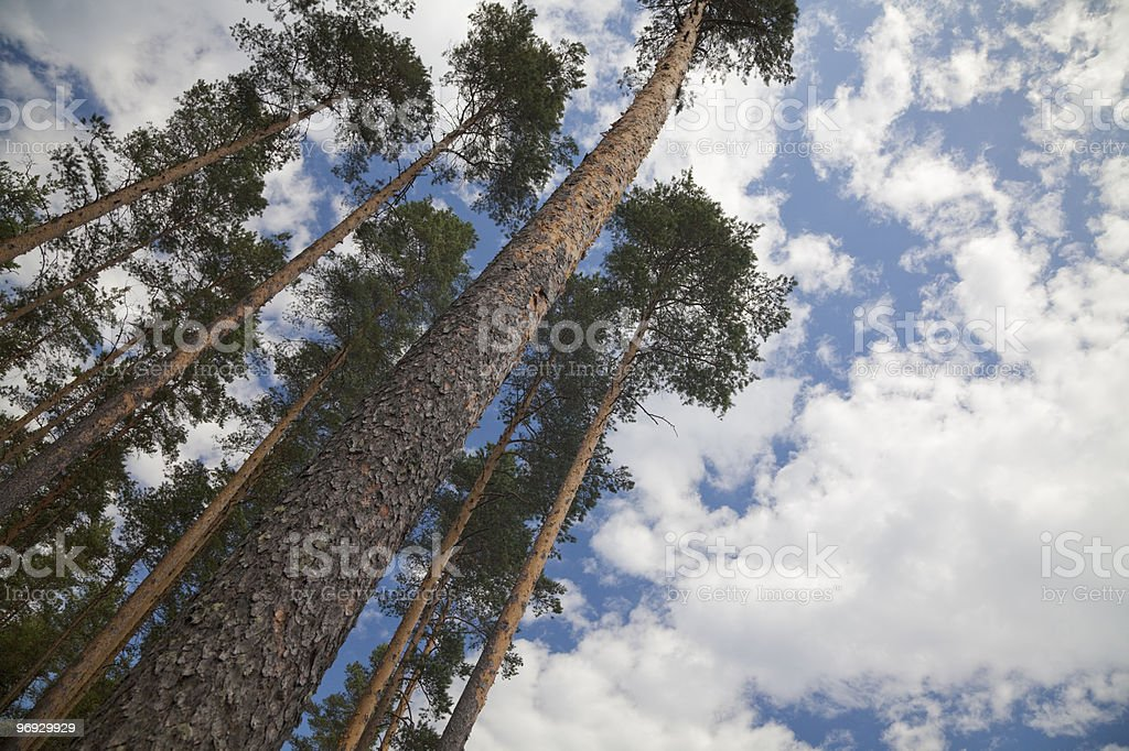 Long Pine trees in Finland royalty-free stock photo