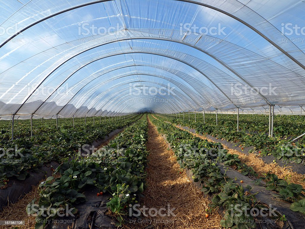 A long polytonal filled with strawberry plants royalty-free stock photo