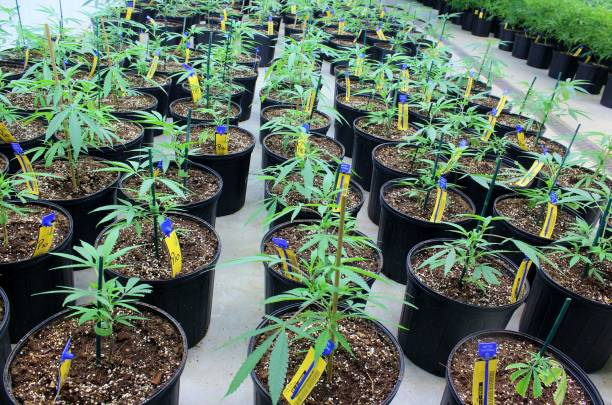 Long rows of cannabis plants in vegetative growth stage stock photo