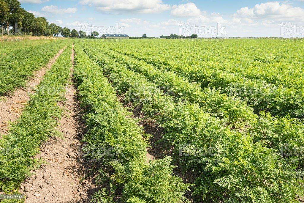 Long fileiras de plantas de cenoura em campo - foto de acervo