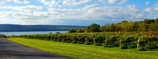 Long Rows of Grapevines at a Local Vineyard with Water Views in Background stock photo