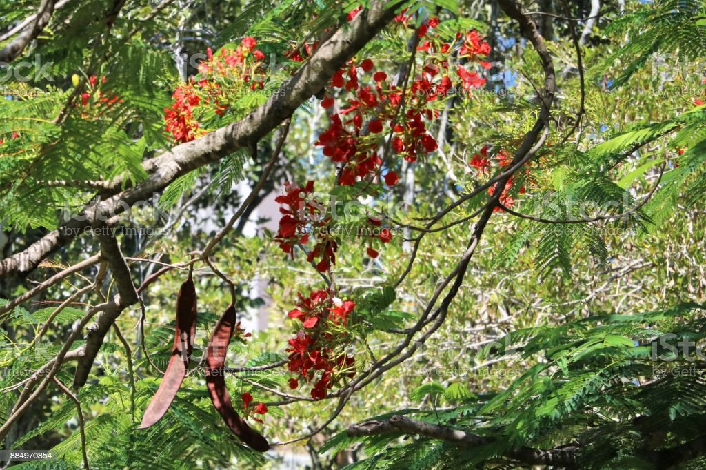 Long seed pods and flowers of Flame tree or Delonix regia in summer, Queensland Australia stock photo