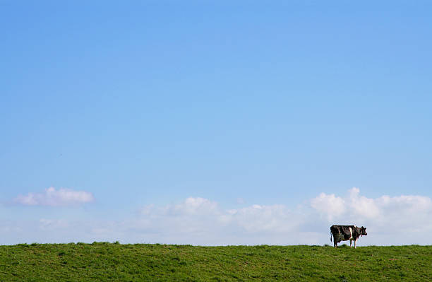 Long shot of a lone cow in a green pasture with blue sky stock photo