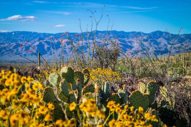 A long slender Saguaro Cactus in Saguaro National Park, Arizona stock photo