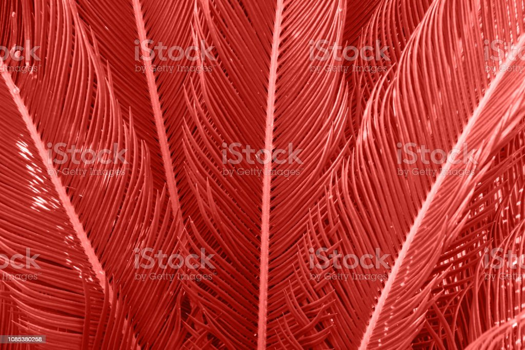 Long spiky palm tree leaves in beautiful geometrical pattern. Trendy living coral color. Botanical tropical foliage background. Template for wellness spa fashion urban lifestyle vacation concept stock photo