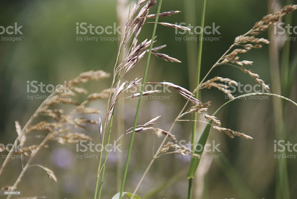 long stem grass royalty-free stock photo