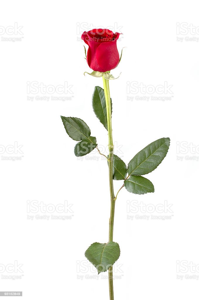 Long stem red rose isolated on white stock photo