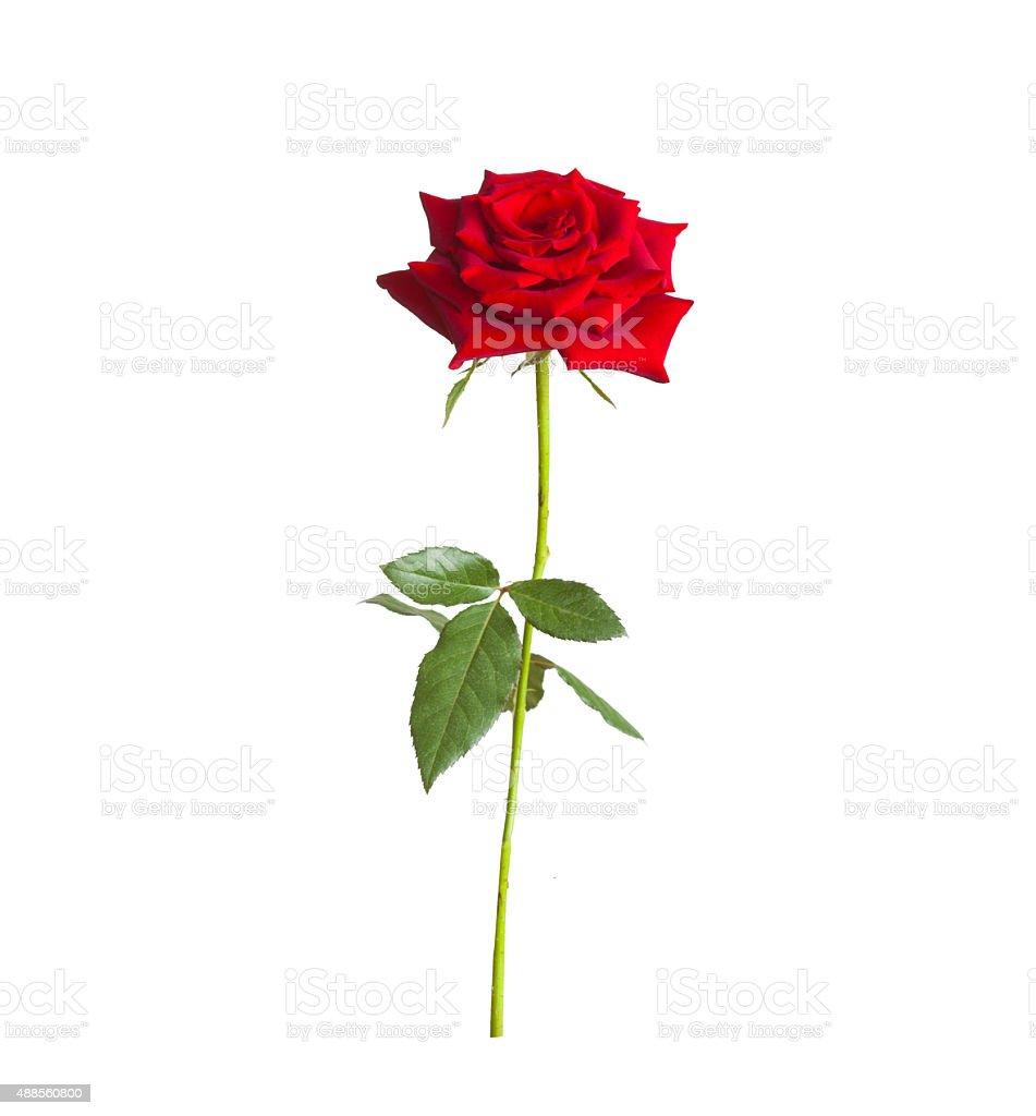 long stem red rose stock photo