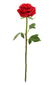 Red rose, white background, natural