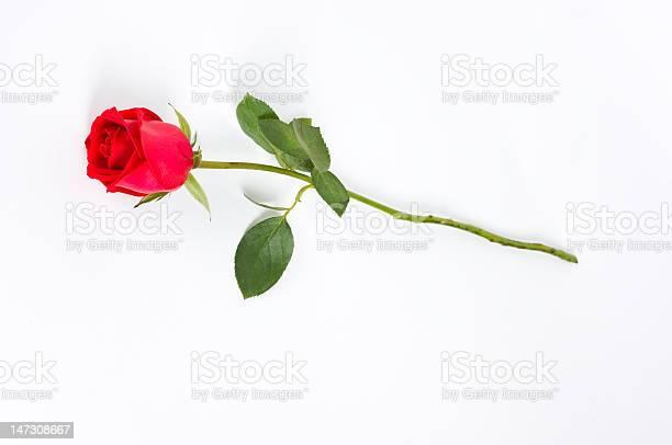Long stem rose on white picture id147308667?b=1&k=6&m=147308667&s=612x612&h=ixb52gfyz7beurpmqwr90a3vcoa aqoo7tsrqmdhc8e=