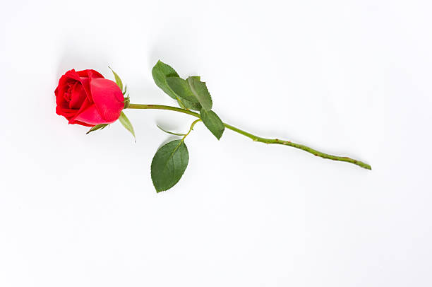 long stem rose on white Isolated long stem red rose bud on white background. plant stem stock pictures, royalty-free photos & images