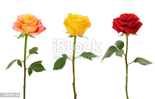 Long Stem Roses isolated on white